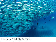 Scuba diver on the sandy bottom surrounded by shoal of Big-eye jacks (Caranx sexfasciatus), Cabo Pulmo Marine National Park, Baja California Sur, Mexico. Стоковое фото, фотограф Franco  Banfi / Nature Picture Library / Фотобанк Лори