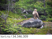 Rough-legged hawk (Buteo lagopus) perched on rock in boreal forest. Vrangel Bay, Primorsky Krai, Russia. August. Стоковое фото, фотограф Franco  Banfi / Nature Picture Library / Фотобанк Лори
