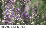 Купить «Beautiful lavender flowers with flying working bee above, close-up view.», видеоролик № 34347713, снято 2 августа 2020 г. (c) Ярослав Данильченко / Фотобанк Лори