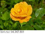 Желтая роза в каплях дождя. Стоковое фото, фотограф Ирина Яровая / Фотобанк Лори