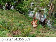 Glückliche freilaufende Hühner auf einem Bauernhof - Hühnerfarm Freilandeier... Стоковое фото, фотограф Zoonar.com/Alfred Hofer / easy Fotostock / Фотобанк Лори