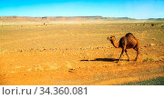 Dromedary walking in the middle of the desert with mountains in the... Стоковое фото, фотограф Zoonar.com/Morad HEGUI / easy Fotostock / Фотобанк Лори