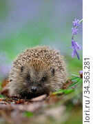 European hedgehog (Erinaceus europaeus) and Bluebell, Peak District, UK. May. Стоковое фото, фотограф Paul Hobson / Nature Picture Library / Фотобанк Лори