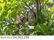 Pale-throated sloth (Bradypus tridactylus) mother and baby, aged 4 months, Sloth Island, Guyana. April. Стоковое фото, фотограф Suzi Eszterhas / Nature Picture Library / Фотобанк Лори