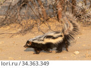 Striped / African Polecat (Ictonyx striatus), Private reserve, Namibia. September. Captive. Стоковое фото, фотограф Sylvain Cordier / Nature Picture Library / Фотобанк Лори