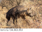 Brown hyaena (Parahyaena brunnea) walking through dry grass, Private reserve, Namibia. September. Captive. Стоковое фото, фотограф Sylvain Cordier / Nature Picture Library / Фотобанк Лори