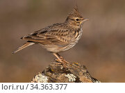 Thekla's lark (Galerida theklae) with raised crest, Parque Natural Sierra de Andujar, Andalucia, Spain. January. Стоковое фото, фотограф Staffan Widstrand / Nature Picture Library / Фотобанк Лори