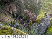 RF - Iberian lynx (Lynx pardinus) sitting, camouflaged against rocks... Стоковое фото, фотограф Staffan Widstrand / Nature Picture Library / Фотобанк Лори