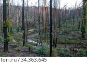 Martins Creek and surrounds approx 5 months after 2019/20 bushfires devastated the area. The edge of the creek originally had wet temperate rainforest... Стоковое фото, фотограф Doug Gimesy / Nature Picture Library / Фотобанк Лори