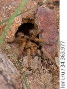 Desert tarantula (Aphonopelma spp.), Sonoran Desert, Arizona, USA, July. Стоковое фото, фотограф John Cancalosi / Nature Picture Library / Фотобанк Лори