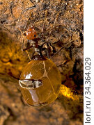 Honey pot ant (Myrmecocystus spp) with engorged gasters, living food storage, in the colony. Arizona, USA. August. Стоковое фото, фотограф John Cancalosi / Nature Picture Library / Фотобанк Лори