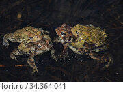 American toad (Bufo americanus) two pairs in amplexus, New York, USA. Стоковое фото, фотограф John Cancalosi / Nature Picture Library / Фотобанк Лори