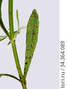 Lavender leaf spot (Septoria lavandulae) spotting on lavender (Lavandula... Стоковое фото, фотограф Nigel Cattlin / Nature Picture Library / Фотобанк Лори
