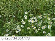 Scentless mayweed (Tripleurospermum inodorum) flowering with flower... Стоковое фото, фотограф Nigel Cattlin / Nature Picture Library / Фотобанк Лори
