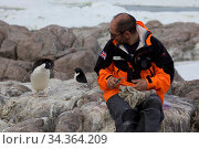 Adelie penguin (Pygoscelis adeliae) observing scientist measuring Antarctic Skua chick (Stercorarius antarcticus) at Dumont d'Urville Station, Antarctica, January 2013. Стоковое фото, фотограф Fred Olivier / Nature Picture Library / Фотобанк Лори