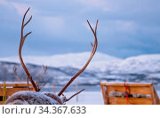 Massive reindeer antlers in front of sleighs carrying tourists with... Стоковое фото, фотограф Zoonar.com/Pawel Opaska / easy Fotostock / Фотобанк Лори