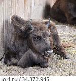 Calf of European Bison (2020 год). Редакционное фото, фотограф Знаменский Олег / Фотобанк Лори