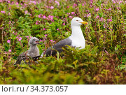 Lesser black-backed gull (Larus fuscus) adult and chick near nest in pink campion. Skomer, Wales, UK, July. Стоковое фото, фотограф Oscar Dewhurst / Nature Picture Library / Фотобанк Лори