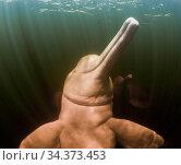 Amazon river dolphin (Inia geoffrensis), . Rio Negro, Brazil, South America. Стоковое фото, фотограф Brandon Cole / Nature Picture Library / Фотобанк Лори