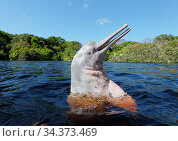 Amazon river dolphin (Inia geoffrensis) spyhopping, Rio Negro, Brazil, South America. Стоковое фото, фотограф Brandon Cole / Nature Picture Library / Фотобанк Лори