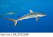 Silky shark (Carcharhinus falciformis), female with many scratches and bite marks- wounds from recently mating. During copulation the male bites the female... Стоковое фото, фотограф Brandon Cole / Nature Picture Library / Фотобанк Лори
