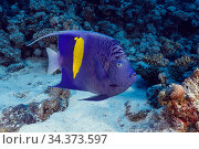 Yellowbar Angelfish (Pomacanthus maculosus), endemic found only in Red Sea. Egypt, Red Sea. Стоковое фото, фотограф Brandon Cole / Nature Picture Library / Фотобанк Лори