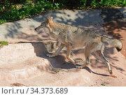 Eurasian wolf (Canis lupus lupus) runs fast on rock. Стоковое фото, фотограф Валерия Попова / Фотобанк Лори