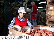 Woman employee working at a fruit warehouse, preparing a peaches for packaging. Стоковое фото, фотограф Яков Филимонов / Фотобанк Лори