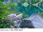 Wild Mountain Goat in Cascade mountains. Стоковое фото, фотограф Zoonar.com/Galyna Andrushko / easy Fotostock / Фотобанк Лори