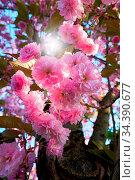 Blüten an einem Kirschbaum im Frühling im Gegenlicht. Стоковое фото, фотограф Zoonar.com/Heiko Kueverling / easy Fotostock / Фотобанк Лори