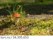 Leccinum aurantiacum mushroom in grass among moss. Стоковое фото, фотограф Валерия Попова / Фотобанк Лори