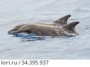 Rough-toothed dolphin (Steno bredanensis) two surfacing together, El Hierro, Canary Islands. Стоковое фото, фотограф Sergio Hanquet / Nature Picture Library / Фотобанк Лори