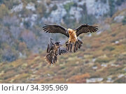 Two Bearded Vultures / Lammergeiers (Gypaetus barbatus). Immature male engaged in early courtship display with an adult female, Valle de Puertolas, Aragon, Spanish Pyrenees. Стоковое фото, фотограф Roger Powell / Nature Picture Library / Фотобанк Лори