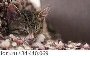 Kitten sleeps on couch. Стоковое видео, видеограф Сергей Петерман / Фотобанк Лори
