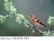 Chaffinch (Fringilla coelebs) male resting on lichen clad branch, Cairngorms National Park, Scotland, UK. January. Стоковое фото, фотограф Ross Hoddinott / Nature Picture Library / Фотобанк Лори