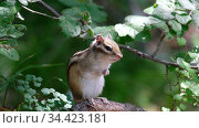Video of a young curious chipmunk sitting on a branch in the forest. Стоковое видео, видеограф Serg Zastavkin / Фотобанк Лори