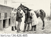Blood is taken from a horse to prduce anti-diphtheria serum. Old ... Стоковое фото, фотограф Jerónimo Alba / age Fotostock / Фотобанк Лори