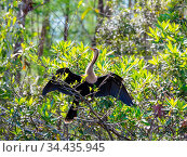 American Anhinga ,Everglades National Park, Florida. Стоковое фото, фотограф Zoonar.com/Galyna Andrushko / easy Fotostock / Фотобанк Лори