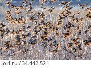Yellow-headed blackbirds (Xanthocephalus xanthocephalus) flock descending... Редакционное фото, фотограф Jack Dykinga / Nature Picture Library / Фотобанк Лори