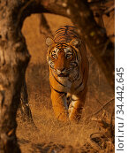 Bengal tiger (Panthera tigris) tigress 'Arrowhead 'stalking, Ranthambhore, India. Стоковое фото, фотограф Andy Rouse / Nature Picture Library / Фотобанк Лори