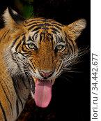 RF - Bengal tiger (Panthera tigris) flehmen response, Ranthambhore... Стоковое фото, фотограф Andy Rouse / Nature Picture Library / Фотобанк Лори
