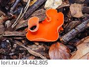 Orange peel fungus (Aleuria aurantia), Penn Wood, Buckinghamshire, England, November. Стоковое фото, фотограф Linda Pitkin / Nature Picture Library / Фотобанк Лори