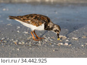 Ruddy turnstone (Arenaria interpres) opening and eating Coquina Clam, Tierra Verde, Florida, USA. July. Стоковое фото, фотограф Lynn M. Stone / Nature Picture Library / Фотобанк Лори