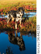 Australian shepherd dog in salt marsh with Red glasswort; Connecticut, USA. October. Стоковое фото, фотограф Lynn M. Stone / Nature Picture Library / Фотобанк Лори