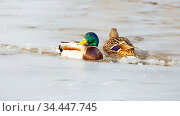 A duck family swims in a frozen lake on a sunny day. Стоковое фото, фотограф Акиньшин Владимир / Фотобанк Лори