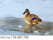 A duck stands in a puddle in a frozen lake on a sunny day. Стоковое фото, фотограф Акиньшин Владимир / Фотобанк Лори