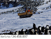 Tracked vehicle returning to Dumont d'Urville station past penguin colony, Antarctica, 2013. Стоковое фото, фотограф Fred Olivier / Nature Picture Library / Фотобанк Лори