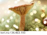 lactarius rufus mushroom in reindeer lichen moss. Стоковое фото, фотограф Syda Productions / Фотобанк Лори
