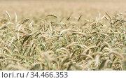 Weizenähren. Wheat heads. Стоковое фото, фотограф Zoonar.com/Olaf Adebahr / easy Fotostock / Фотобанк Лори