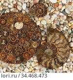Fossilized Ammonites - ancient molluscs of the order cephalopods. Стоковое фото, фотограф Алексей Кузнецов / Фотобанк Лори